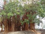 And of course, the Banyan Tree.