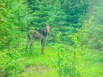 Although, on the Gunflint Trail, moose aren`t that rare- guests at Poplar Creek Retreat often report moose spottings.