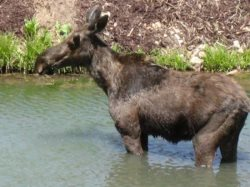 Picture of Moose Enjoying the Pond Behind MH707