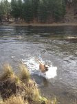 Dogs love to swim in the Deschutes River, Pet Friendly Vacation Rentals in Bend Oregon