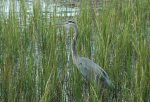 Nature Abounds Great Blue Heron