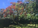Royal Poinciana tree with beautiful summer blooms