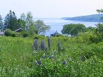 Lupines in back yard with Rockland Harbor in background
