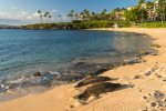 Hawaiian monk seals sunning themselves on Kapalua Bay