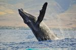 During the winter months the humpback whales make Maui their home
