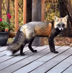 Fox stops by the cabin for a visit -- the deck of the Big Cabin at Ponderosa