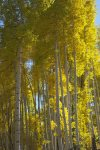 Aspen grove fall color at Durango Colorado vacation rental condo at Purgatory Resort