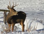 Mule Deer buck in winter snow at Durango Colorado vacation rental home cabin The Rock House