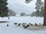 Wild turkey flock on front lawn at vacation rental home between Durango Colorado and Purgatory Resort