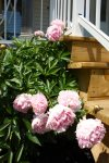 Peonies greet you in the summer