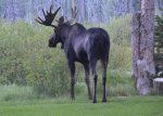 Bull Moose in Backyard